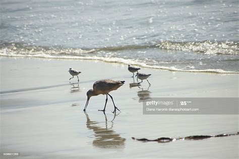 Mother And Baby Sandpipers High-Res Stock Photo - Getty Images